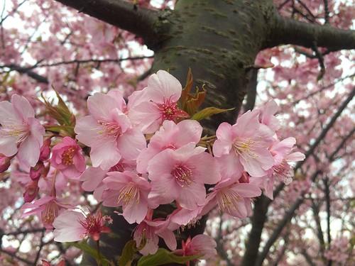Kawatsu Sakura (Miura Kaigan)
