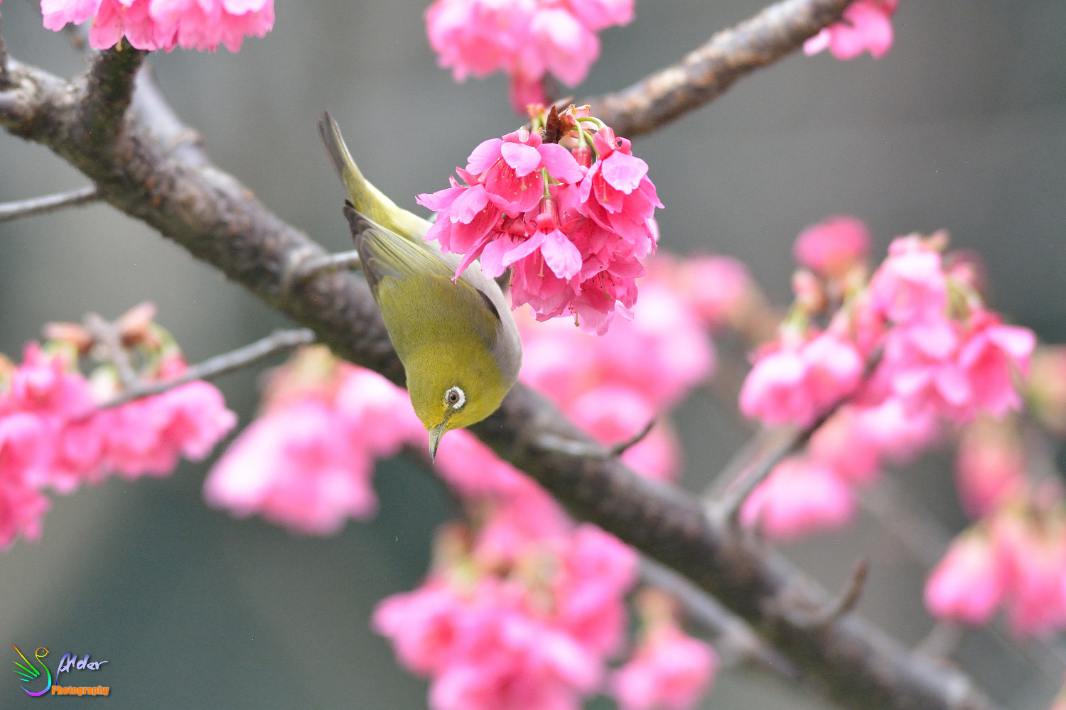 Sakura_White-eye_5866