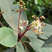 Small photo of Saurauia zahlbruckneri-- the Butterscotch Bush