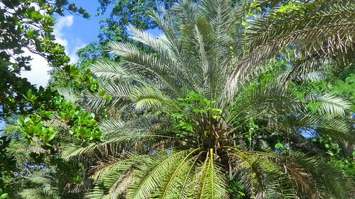Mexico - Chichén Itzá; tropical Palms of Yucatan