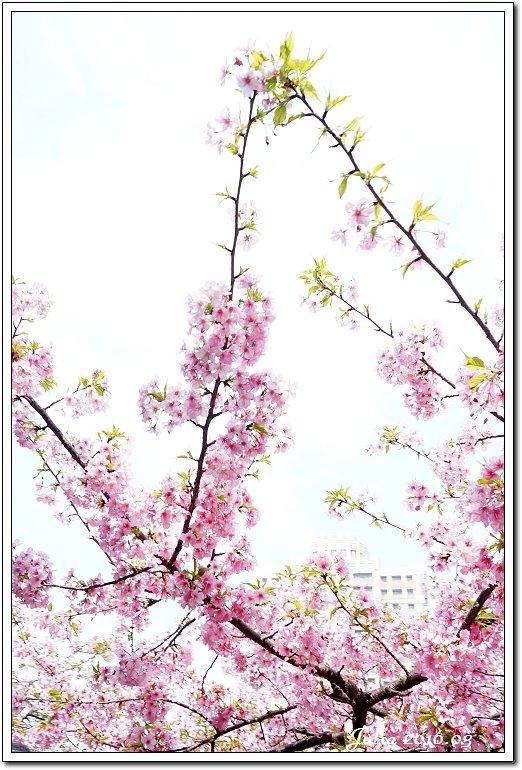 麗池公園河津櫻 (20)