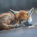 Urban fox sleeping in street, Bristol, Ian Wade by Disorganised Photographer - Ian Wade - Travel, Wil