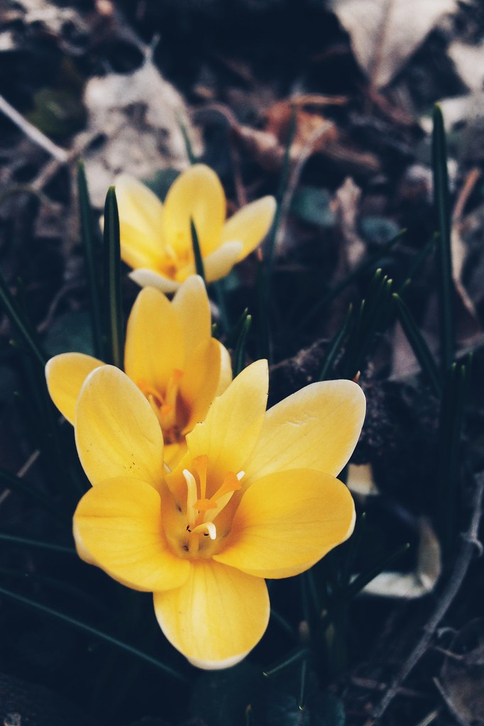 Early Spring Flowers (iPhone Capture)