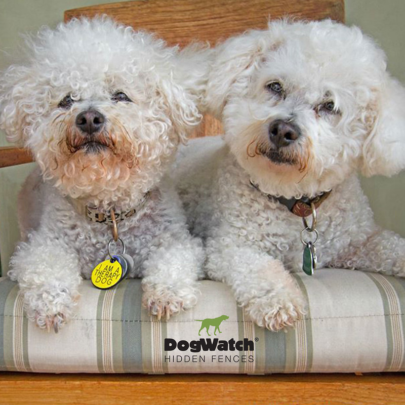 Two Bichon Frises, DogWatch Hidden Fences of Santa Barbara (CA)