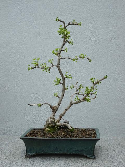 Gingko Maidenhair Tree