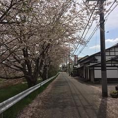 矢那川の桜  2016/4/8