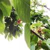 #cherry #tree #garden #growyourownfood  #vscocam