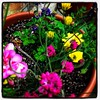 Blooms Taxonomy #blooms #flowers #containergarden #spring #reservoirhill #baltimore