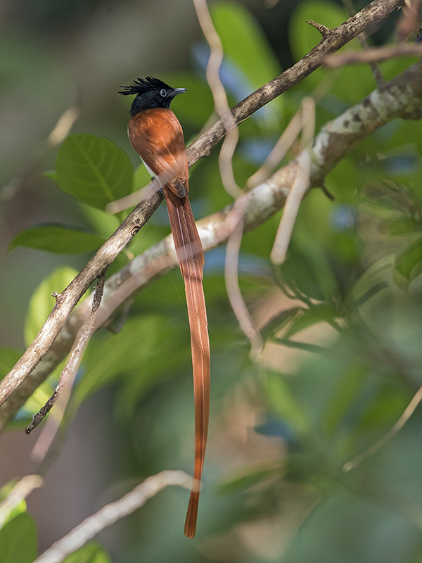 Asian Paradise Flycatcher breeding male