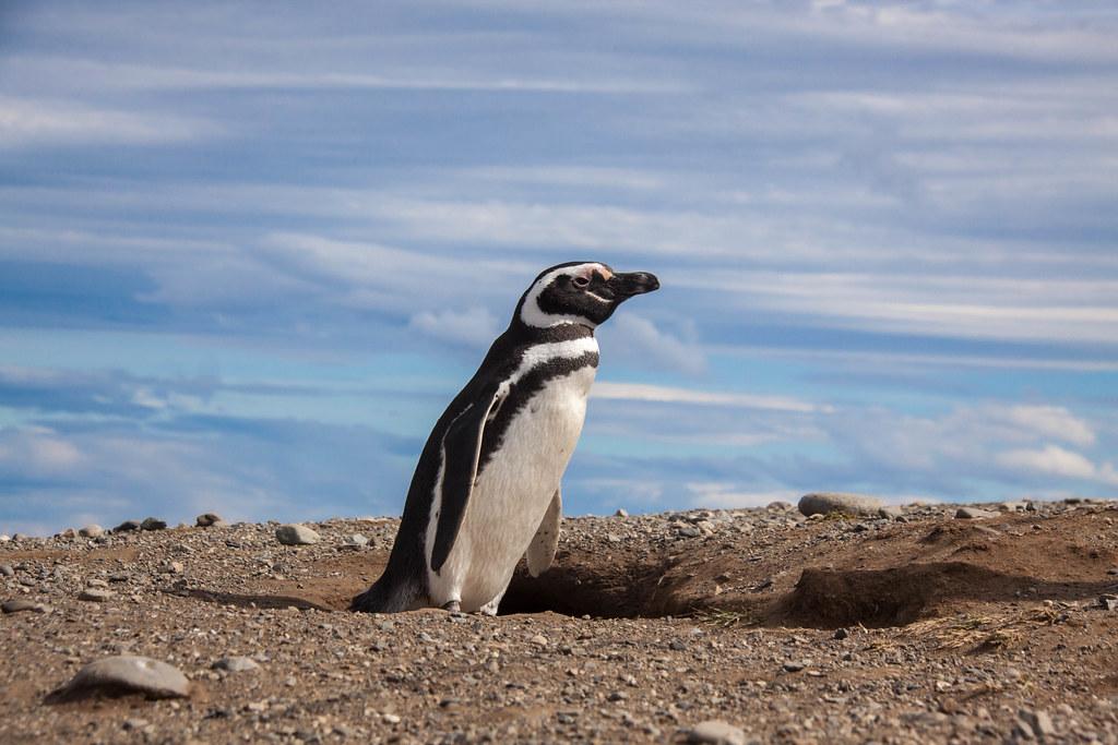 Magellanic Penguin - Isla Magdalena, Patagonia - Chile