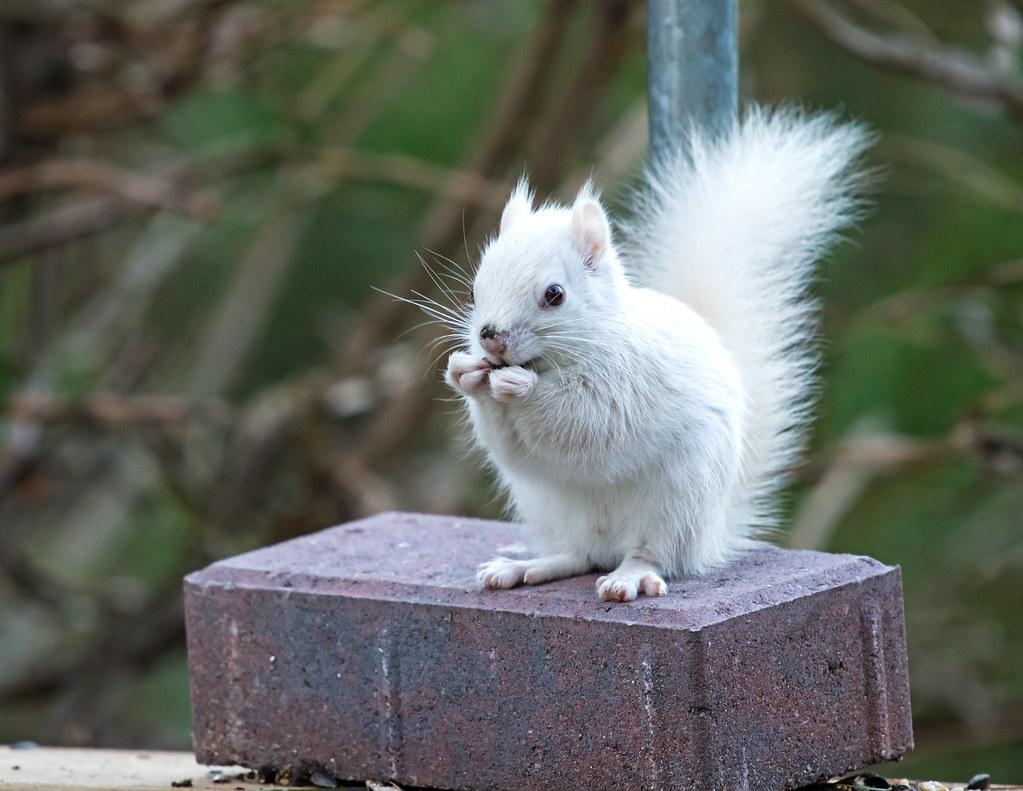 White Squirrel Dec 2015 Tiny Beaches