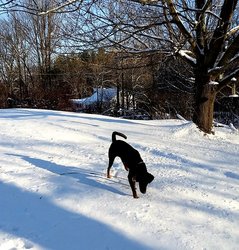 10 month old Doberman puppy rescue playing in the snow - Lapdog Creations
