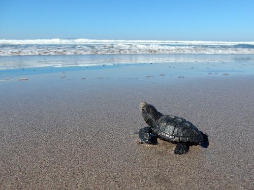 Celestino Gasco - turtle release - 4