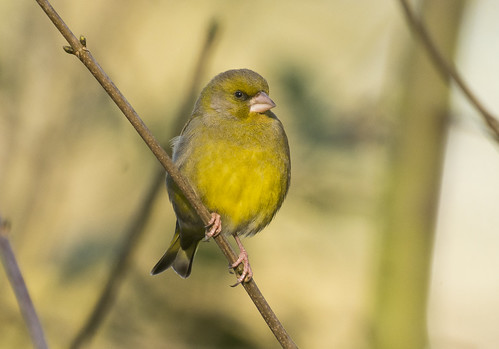 Greenfinch, The Lodge RSPB, 7th February 2016