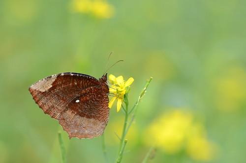 morning winter india macro nature butterfly asian nikon asia dof bokeh outdoor depthoffield tropical bengal mustardfield basking nymphalidae satyrinae commonpalmfly elymniashypermnestraagina dimorphic nikond7000 tamronaf90mmf28dispam11macrolens