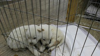 Nami Kim team rescues from Bucheon dog farm