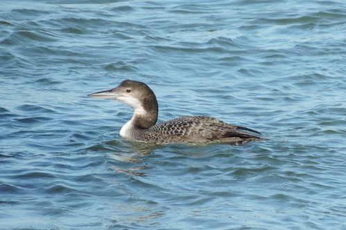 Common Loon #63