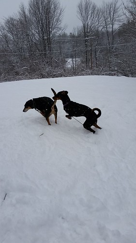 Teutul & Penny romping in the snow! #spring #newengland #snow #dogsplayinginsnow #LapdogCreations ©LapdogCreations