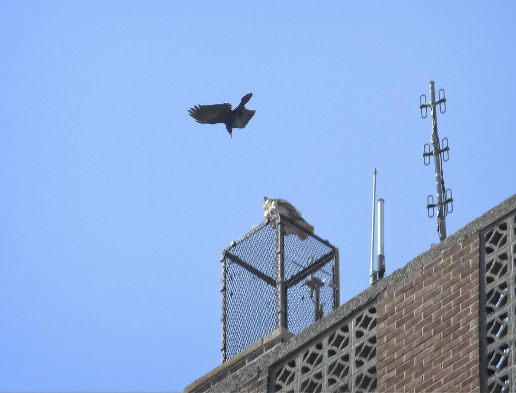 Dora the hawk vs a crow