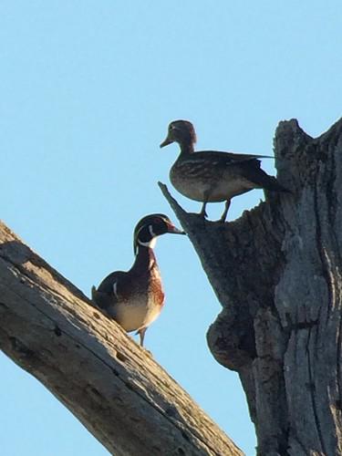 Wood Duck. Nisqually NWR.