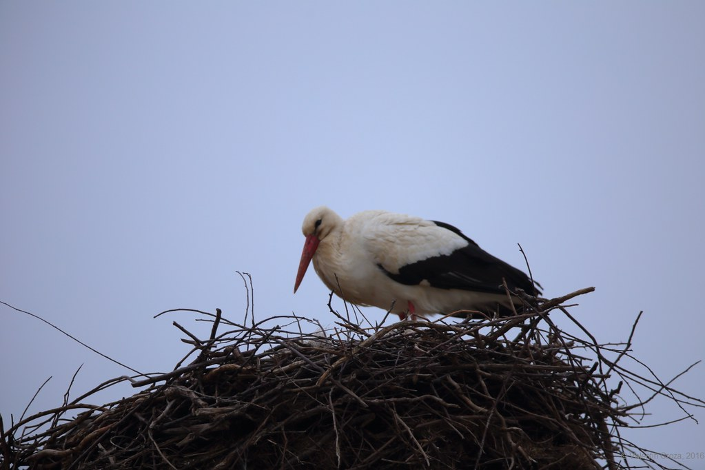 first stork who arrived in 2016_1