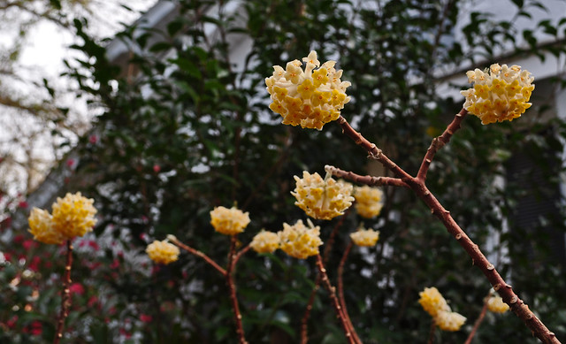 Edgeworthia chrysantha (1)