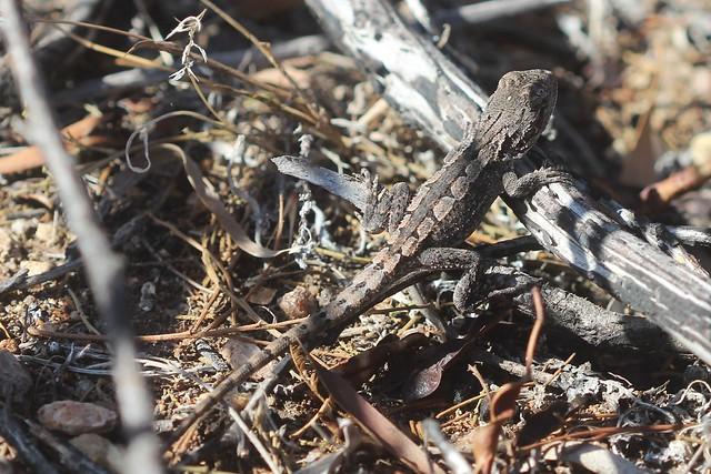 Jacky Lizard Amphibolurus muricatus