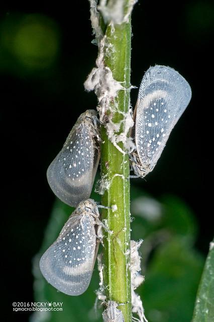 Flatid planthoppers (Flatidae) - DSC_7119