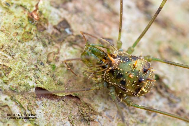 Harvestman (Podoctidae) - DSC_6935