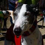 Greyhound Adventures at Minuteman National Park, Lexington MA, April 10th 2016