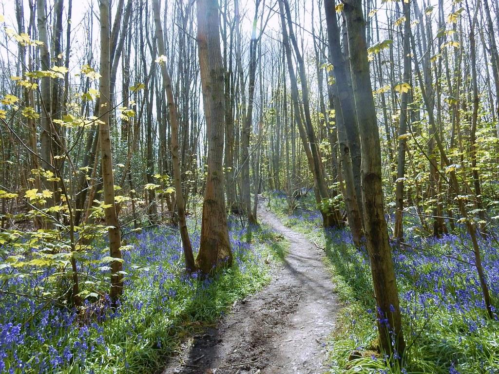 Bluebells Sevenoaks to Westerham