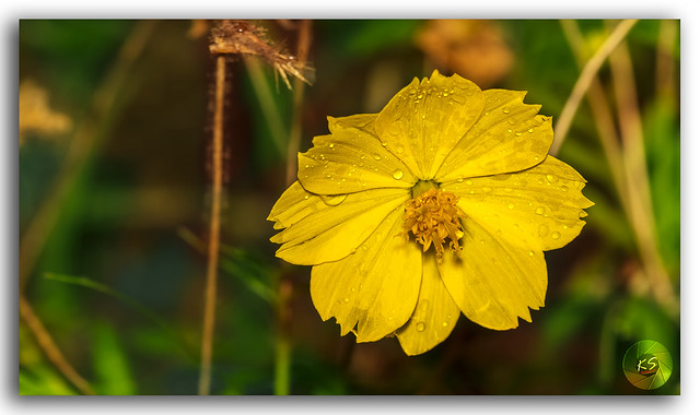 A little Sun (Asteraceae or Sunflower)