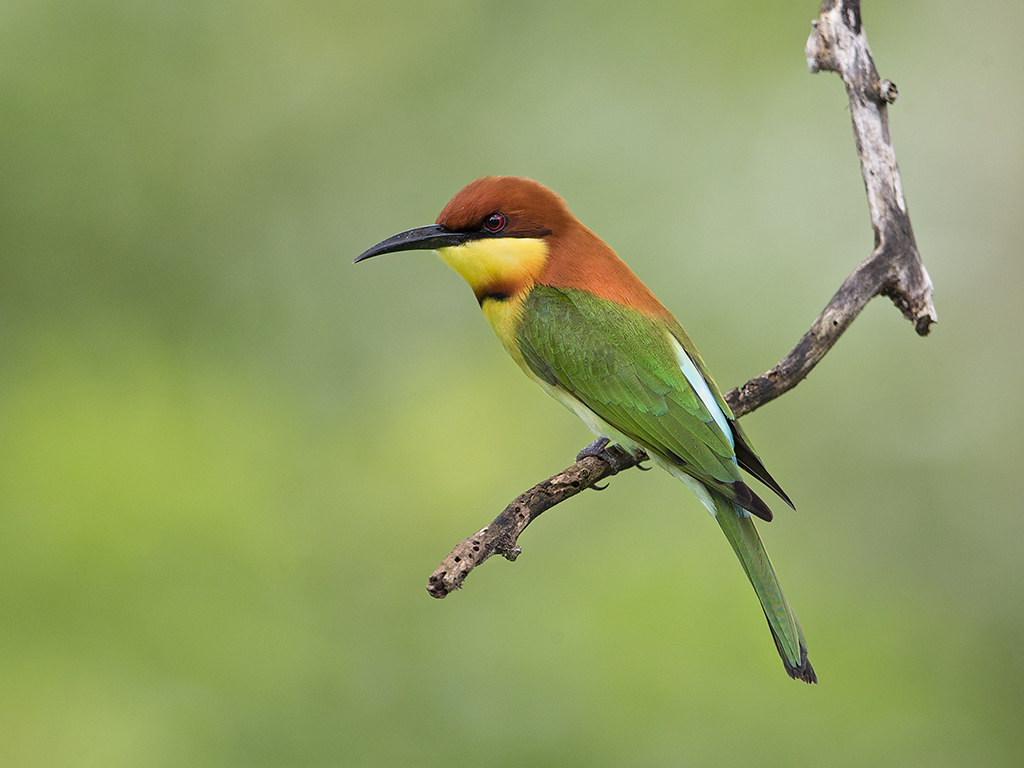 Chestnut-headed Bee-eater4