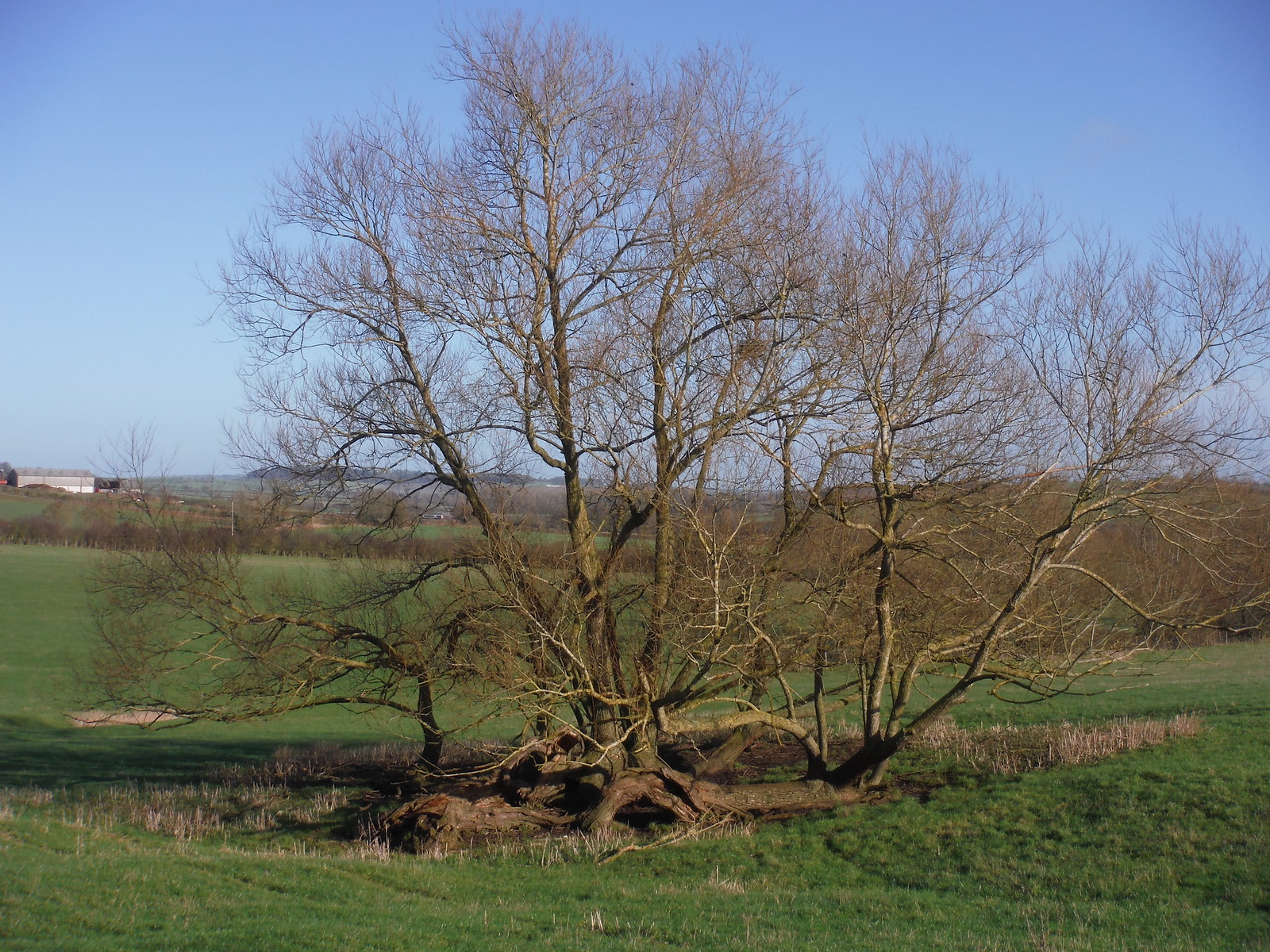 Close-Up of Tree in Valley NE of Long Crendon, on way to Wombwell's Farm SWC Walk 191 Haddenham Circular (via Brill)