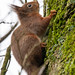 Red Squirrel, Tollymore by Conor Byrne Photography