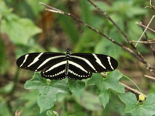 Zebra heliconian 20160203