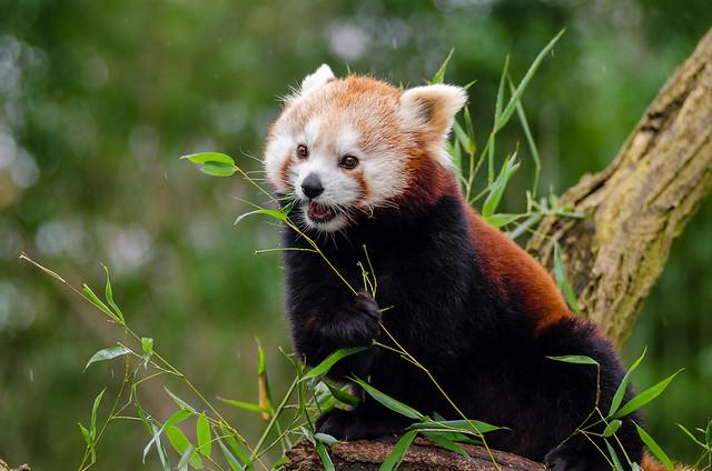 Panda Lunch In The Rain