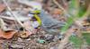 Olive-capped Warbler - Setophaga pityophila