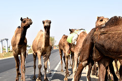 Camels on the Highway