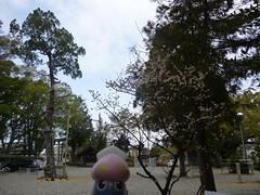 Inkay in Tanabe, Wakayama 5 (Tokei shrine)