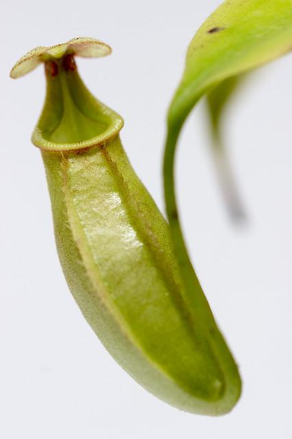N. bicalcarata Marudi