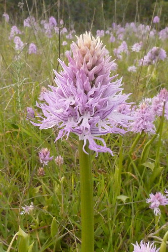 Naked Man Orchid Poio  Portugal 07.03.16