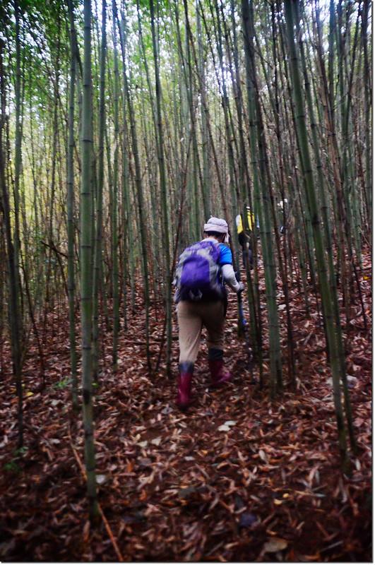 大原山竹林