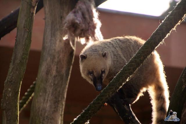 Eisbär Fiete im Zoo Rostock 20.03.2016  0252