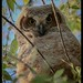 Great horned Owl, owlet by flintframer