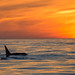 Killer Whales Sunset by toryjk