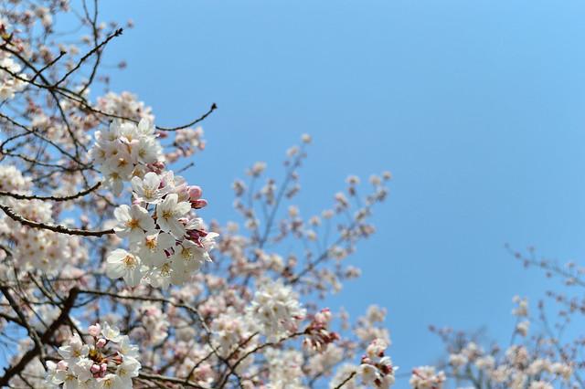 サクラ Cherry blossoms