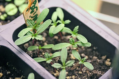 seedlings  IMG_5242 - Copy