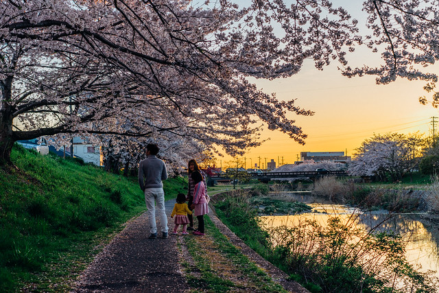 CherryBlossoms_305