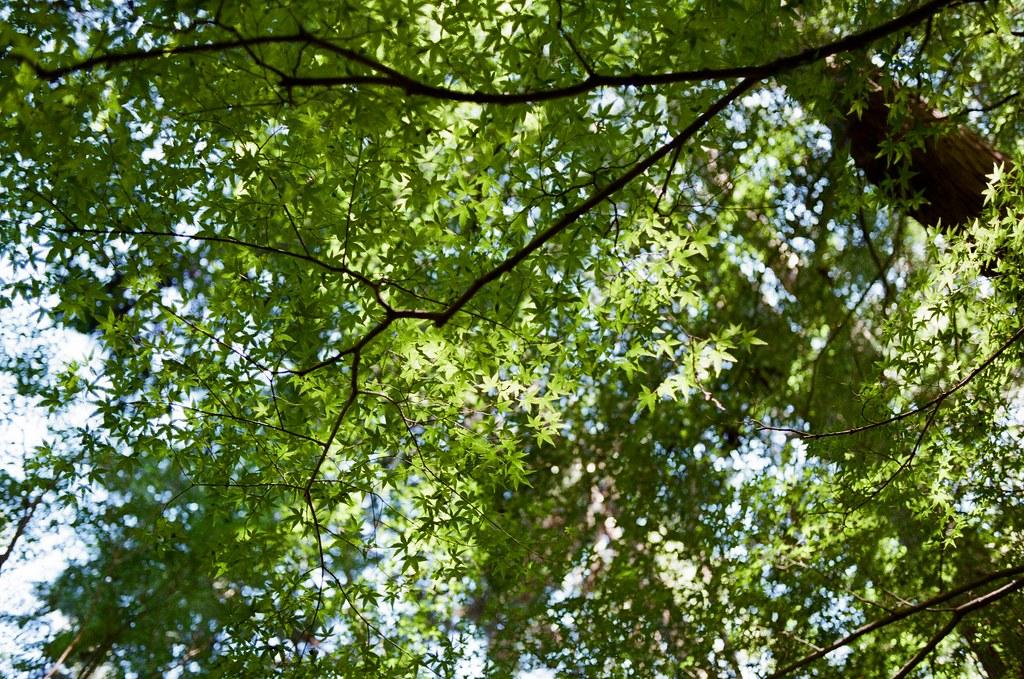 野宮神社 嵐山 Kyoto Japan / Kodak ColorPlus / Nikon FM2 2015/09/28 同一個地方卻有不同鮮度的楓葉,我記得那幾天在京都車站附近看到有點開始轉黃的楓葉,可是這裡卻還是鮮綠的!  或許,這裡還眷戀著夏天。  Nikon FM2 Nikon AI AF Nikkor 35mm F/2D Kodak ColorPlus ISO200 0987-0034 Photo by Toomore